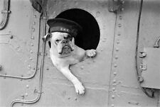 "WWII B&W Photo British Royal Navy Mascot ""Venus""  WW2 World War Two  / 1098"