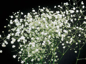 Wild Garden Flower Seeds Gypsophila Snowflake. INC FREE SEED OFFER see desc
