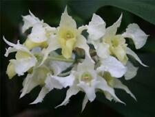 ORCHID - Dendrobium Forbesii  SPECIES  -FRAGRANT-