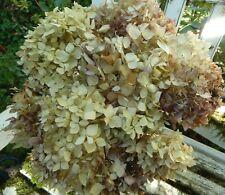 12 Dried Hydrangea Flowers Antique Cream + Burgundy Wedding Primitives Seconds