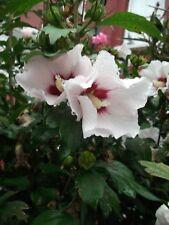 HIBISCUS - ROSE OF SHARON - HARDY SHRUB - 25 MIXED SEEDS