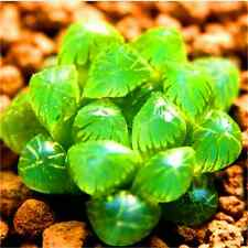 Fd2230 Succulents Seeds Mini Potted Flower Organic Green ~1 Bag 50 Seeds~