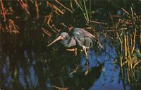 Postcard Louisiana Heron