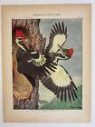 Vtg Original Print Plate #63 Pileated Woodpecker Birds of New York 1916 Fuertes