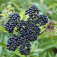 Johns Elderberry Bush - Fruit Shrub - Established - 1 Plant in 2 Gallon Pot