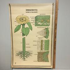 Vintage SUNFLOWER SPERMATOPHYTES Botanical Chart Poster 40's Art Print Original