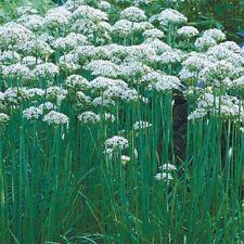 Garlic Chives (Allium Tuberosum)- 200 Seeds