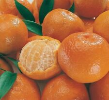 25+ Cold-hardy- Sweet Mandarin Orange Tree ( Citrus reticulata) 25+ fresh seeds