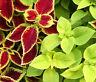 COLEUS UNDER THE SUN FUSEABLES Solenostemon Scutellarioides - 40 Bulk Seeds