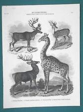 Quadrupeds Mammals Reindeer Deer Giraffe Camelopard - 1820 A. Rees Antique Print