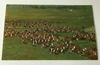 Vintage Postcard Whiteface Cattle On The Range N11