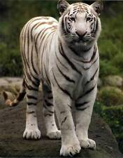 Beautiful White Tiger: 8x10 In. Photo Art Print/Mini-Poster