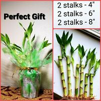 "6 Lucky Bamboo Stalks Rooted Plants - 4"", 6"", 8""  Feng Shui, Christmas Gift"