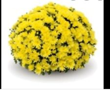 Sinelli Yellow Garden Mums/Belgian Mums Live Annual Now 12 Flowering Plants/Plug