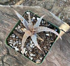 Nice A+ Rare Aloe Rauhii Malagasy Madagascar Miniature Aloe Succulent Textured