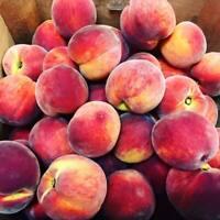 "1 SUGAR GIANT Peach Tree - Semi Dwarf - Healthy barerootPlant 12"" to 20"""