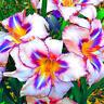 Egrow 100 Teile / paket Liliensamen Seltene Peruanische Lilien Alstroemeria Bons
