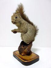 stuffed animals Japanese,Japan,Real Squirrel taxidermy Sciurus vulgaris orientis