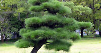100 Japanese Pine Tree Seeds Mixed Perennial Green Plant decor for Home Bonsai