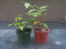 2 Hardy Kiwi Plants - Actinidia - Anna and Meader Fruit GIFT Hardy Mature Sweet