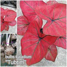 """1 bulbs Thai Caladium """"Tubtim"""" Caladium Plant Red Leaves Ornamental bulbs Plants"""