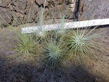 Tillandsien Sortiment 5 Stück fuchsii var.gracilis,