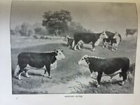 ANTIQUE PRINT C1910 HEREFORD CATTLE COWS FARM ANIMALS BLACK & WHITE PRINT DAIRY