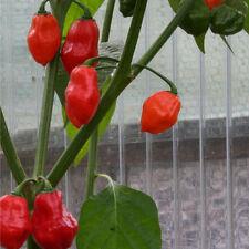 Moskon Peppers rote Chilli mit birnenförmigen Früchten scharfe Chili aus den USA