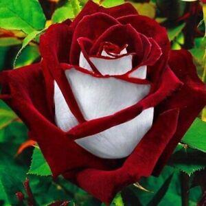 Rosensamen  weiß / rot     *edel & selten*
