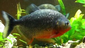 """Adult Red Belly Piranha Fish Live Freshwater Fish Imported from Brazil 5""""- 7"""""""
