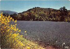 BR22777 Bouqet de genets dans un champ de lavande Flowers fleur france