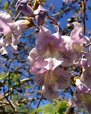 Blauglockenbaum • 200+ Samen/seeds • Paulownia fortunei • Duft • winterhart
