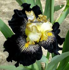 "Tall Bearded ""RECKLESS ABANDON"" Iris - YELLOW AND BURGUNDY BLACK SUNBURST '10"