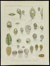 1879 - Planche médecine amibe - Pamphagus Mutabilis / Avidus / Curvus  - Leidy
