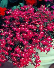 "Trailing Lobelia ""Fountain Crimson"" x 200 seeds. Gift in store Ask combined post"