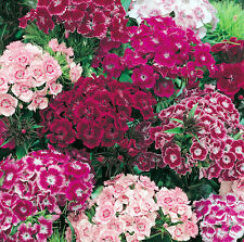 Mixed Sweet William Seeds, Dianthus Seeds, Heirloom Flower Seed, Perennial 75ct