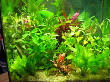 lot de 100  brins  de plantes de culture pour aquarium