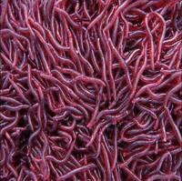 Bulk Soft Red Earthworm Fishing Bait Worm Lures Crankbaits Hooks Tackle Baits