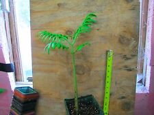 Angiopteris - CRAZY RARE GIANT PREHISTORIC FERN! Your own pet living fossil!