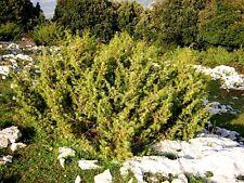 JUNIPERUS COMMUNIS vaso quadro 1 Pianta Ginepro, common Juniper smooth cedar