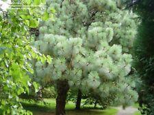 Montezuma pine(Pinus montezumae) 5 seeds