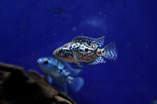 "Live Colorful Freshwwater Fish - 2"" Electric Blue Jack Dempsey Cichlid"