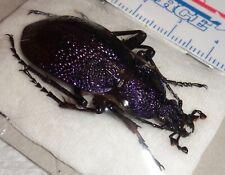 Carabidae Procerus scabrosus ssp. tauricus 43.3mm Ukraine Carabid Beetle Purple
