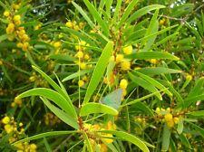 100 Graines Acacia confusa Small Philippine Acacia  tree Seeds