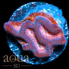 New listing Asd - 087 Pink Space Dust Platy - Wysiwyg - Aqua Sd Live Coral Frag