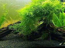 Live Green Xmas Moss - Aquarium Plant Fresh Brackish Water Fish Tank, Decor