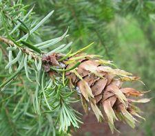 20 Samen Douglasie (Pseudotsuga menziesii), schnellwüchsig, winterhart, Nutzholz