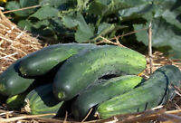 Bushcorp Cucumber - A Great Crisp, Tender & Good Tasting Cucumber - 10 Seeds