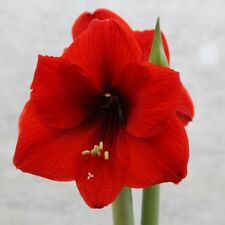 Hippeastrum RED HYBRID AMARYLLIS Huge Flowers - Seeds!