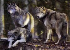 Wolf Pack - 3D Lenticular Postcard Greeting Card